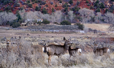 Mule deer and turkey flock