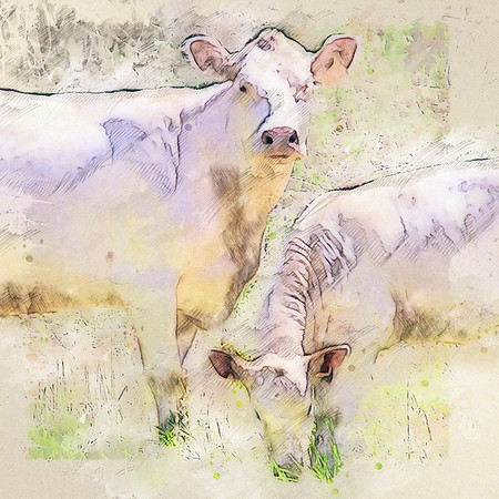 cow and calf ...