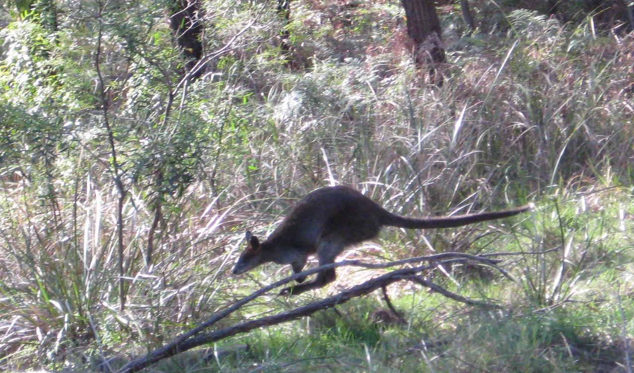 australia, kangaroo 1