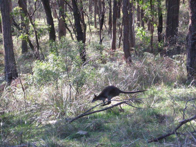 Australia Kangaroo 2
