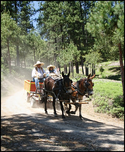 Mariposa County Pioneer Wagon Train - Day 2 of the ride coming into Cedar Point Ranch to set up camp for the night.