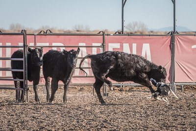 2018 Fallon Bull Sale Benefit Stockdog Trial