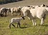 Ewe&lamb8934