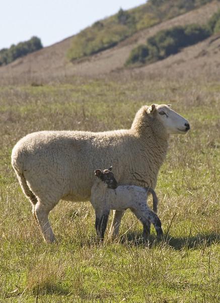 Ewe&lamb8924
