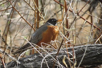 A robin - a sign of spring