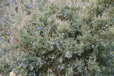 P00018_DSC_0102_Juniper_Berries