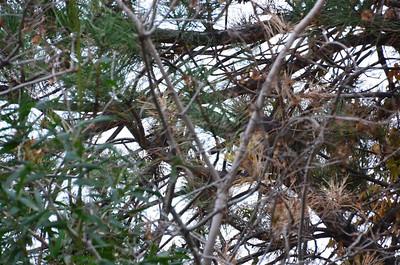 P00027_DSC_0111_Red_Tail_Hawk_in_tree