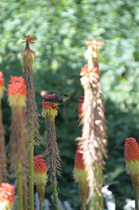 Bird atop a Red Hot Poker