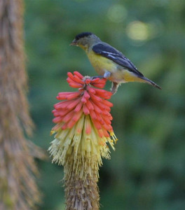A bird atop a Red Hot Poker