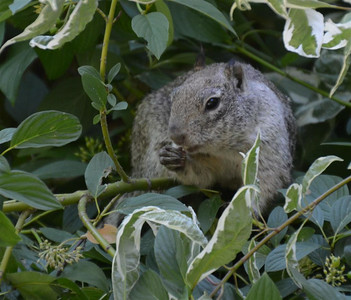 Squirrel in a bush