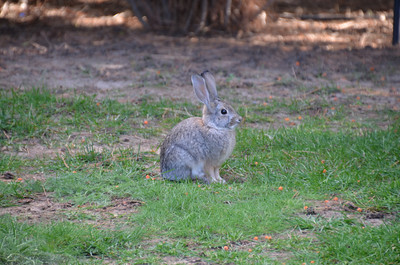 DSC_0162_Cotton-tail_rabbit