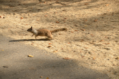 DSC_0080_Squirrel_Running