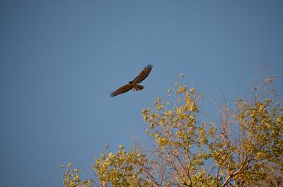 DSC_0254_Red_Tail_Hawk_over_the_trees