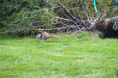DSC_0102_Squirrel_on_the_Run