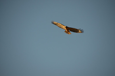 DSC_0270_Red_Tail_Hawk_p1