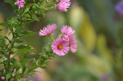 DSC_0146_Purple_Flowers