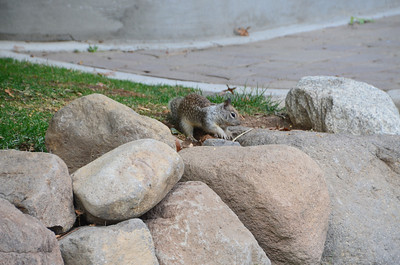 DSC_0115_Digging_Squirrel