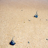 Bluebottles all over the beach - Australia, we can't take you anywhere!