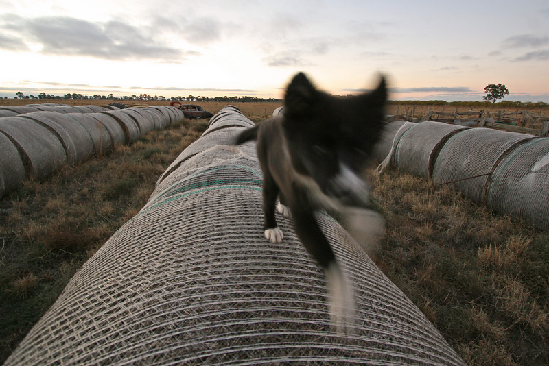 Pup racing on the hay bales