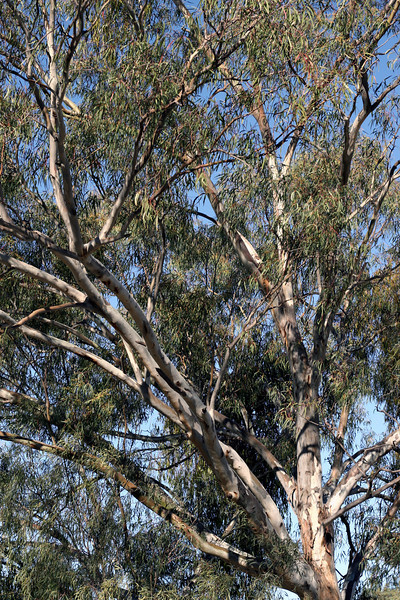 River Red Gums at Yanco Creek, by the Newell Highway