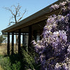 Wisteria out at the farm