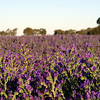 Patterson's Curse (or Riverina Bluebell, depending on what sort of mood you're in I guess)