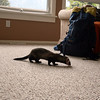 <b>19 June 2010</b> The ferret that came to visit our house at 2am.  He spent the morning wandering around and sniffing things, before being reunited with his owners in the afternoon.  And he was much cuter than this photo suggests, but moved very quickly, it was hard to get a photo that wasn't a blur.