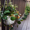 Balcony garden - Strawberry, thyme, chives & cilantro, chili, and the tomato plant