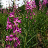 <b>31 July 2010</b> Hoards of fireweed