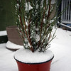 <b>8 Mar 2010</b> Snow!  Typical, as soon as I put my plant outside to try and bring it back to life, it snows.