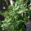 Balcony garden - the tomato plant