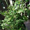 Balcony garden - the tomato plant
