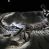 <b>11 Sept 2010</b> Black Beauty (a Tyrannosaurus Rex fossil found in Alberta), Royal Tyrrell Museum, Drumheller