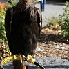 <b>16 Oct 2010</b> Golden Eagle (here's one we rescued earlier)