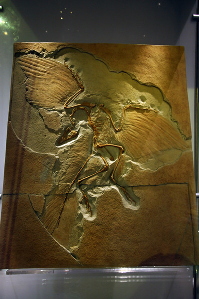 <b>11 Sept 2010</b> Archaeopteryx – a copy of the Berlin specimen, discovered in 1876 (the guy who originally found the fossil exchanged it for a cow), Royal Tyrrell Museum, Drumheller