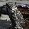<b>16 Oct 2010</b> Great Horned Owl