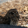 <b>16 Oct 2010</b> Short Eared Owl?