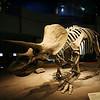 <b>11 Sept 2010</b> Triceratops, Royal Tyrrell Museum, Drumheller