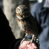 <b>16 Oct 2010</b> Burrowing Owl