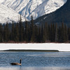 <b>8 April 2011</b> Canada geese on Vermillion Lakes