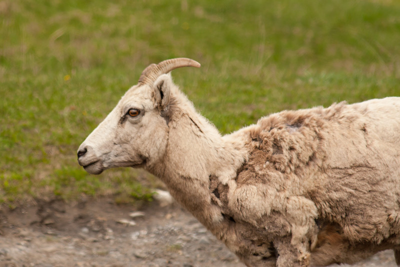 <b>6 June 2011</b> Rocky Mountain Sheep, looking scrofulous.