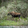 <b>6 September 2012</b> A moose! Roadside in K-Country