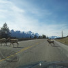 <b>May 2012</b> Bighorn Sheep on the commute home from work