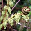 Ferns unrolling