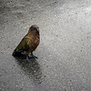 Kea - shortly before it tried to eat our car
