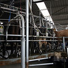 Visiting a dairy farm - the cows have their very own rotating platform to stand on