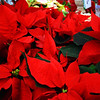 Poinsettas all through the supermarkets