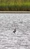 JD2A9755  Common Tern fishing