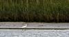 JD2A9772  Little Egret