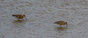JD2A9875  Blacktailed Godwits